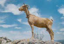 Una cabra con GPS protagoniza la nueva campaña de After para Brooks